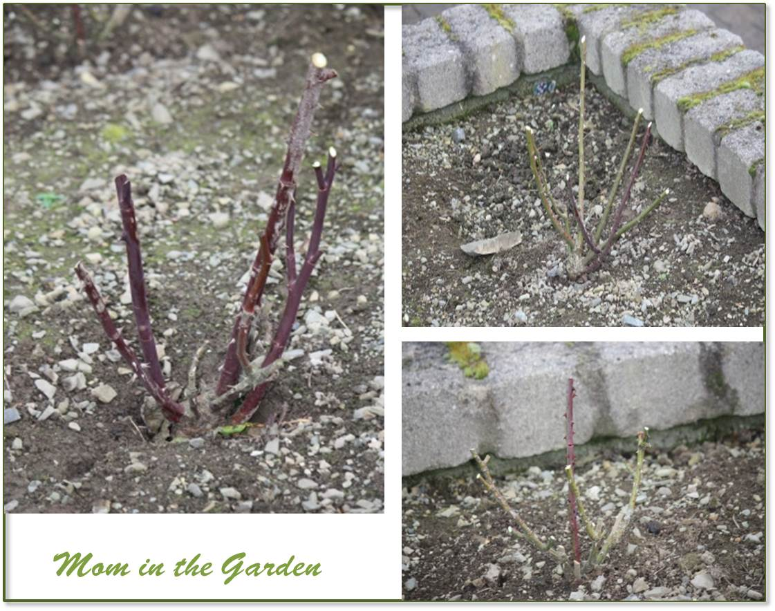 Three pruned rose plants