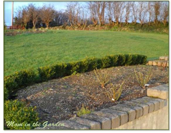 Pruned rose garden