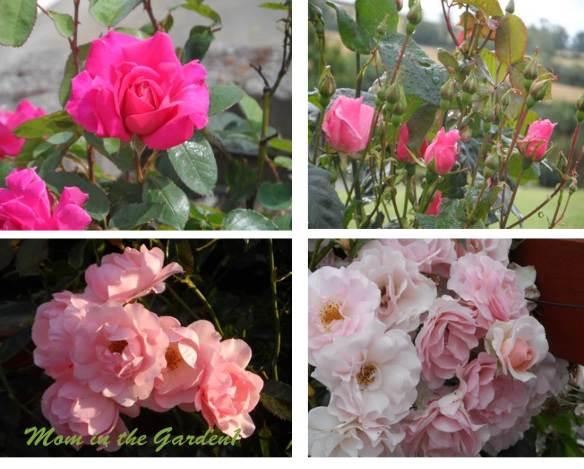 Roses throughout the summer