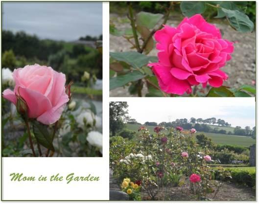 A garden full of roses