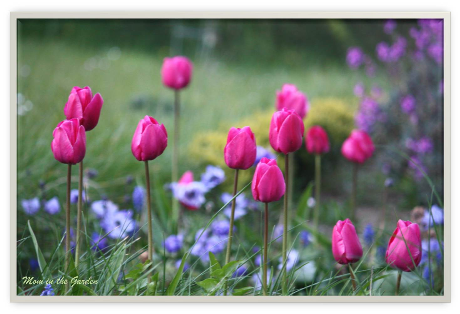 Deep pink tulips with Mr. Fokker Anemone