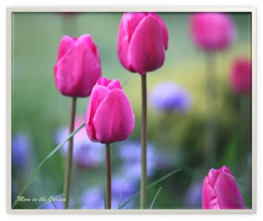 Deep pink tulips