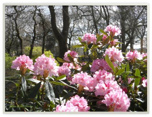Light pink rhododendron
