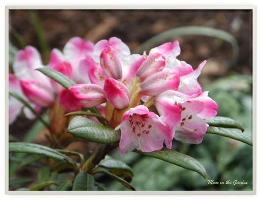 pink stripe rhododendron