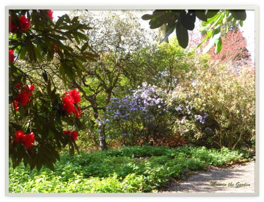 Walking among the rhododendron