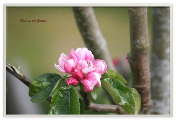 Bramley cooking apple tree blossom