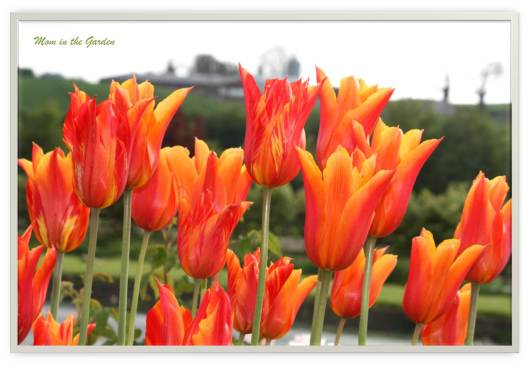 My favorites: Ballerina tulips