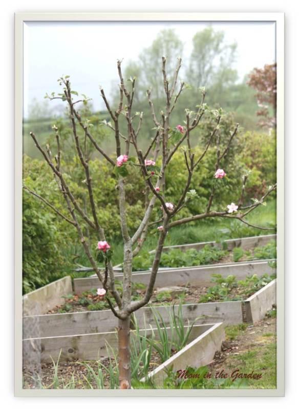 Bramley Cooking Apple tree