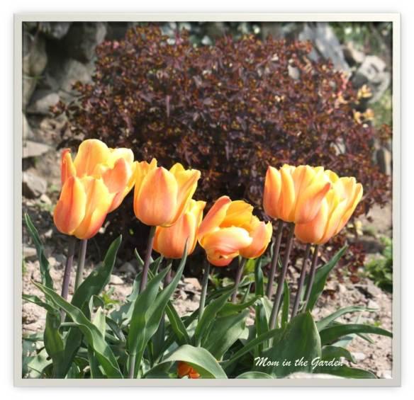 Freeman tulips and a dark euphorbia