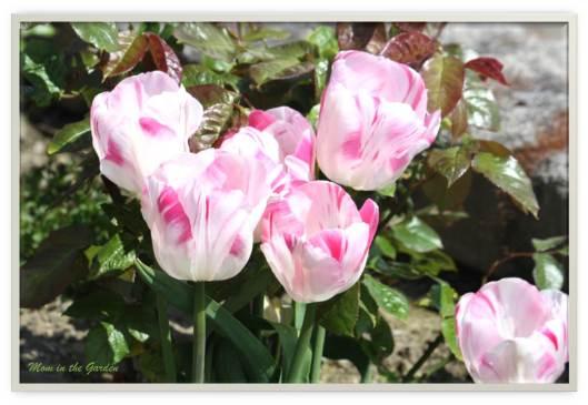 Proper Innuendo Tulips