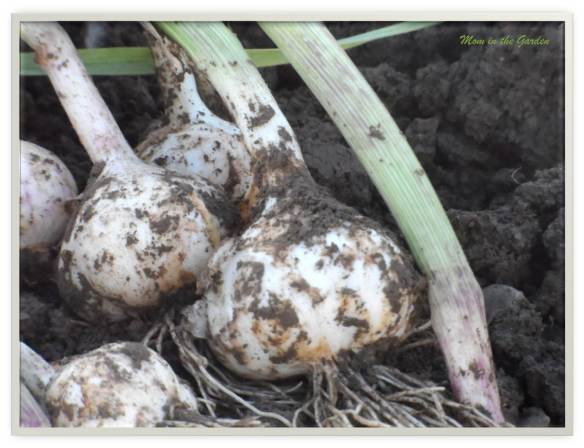 Organic Cristo Garlic (2013)