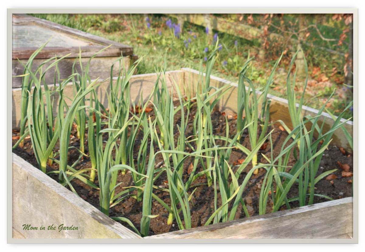 Growing garlic is easy peasy!