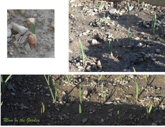 Organic Vallelado Garlic in February 2014