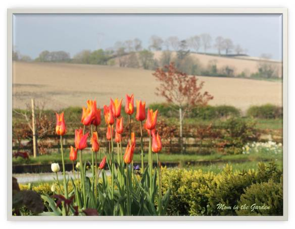 Ballerina Tulips & (rather dry) fields