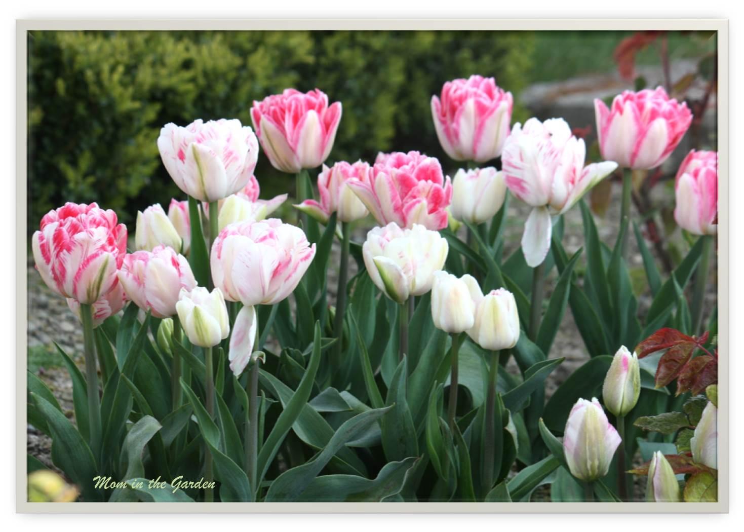 Innuendo Tulips