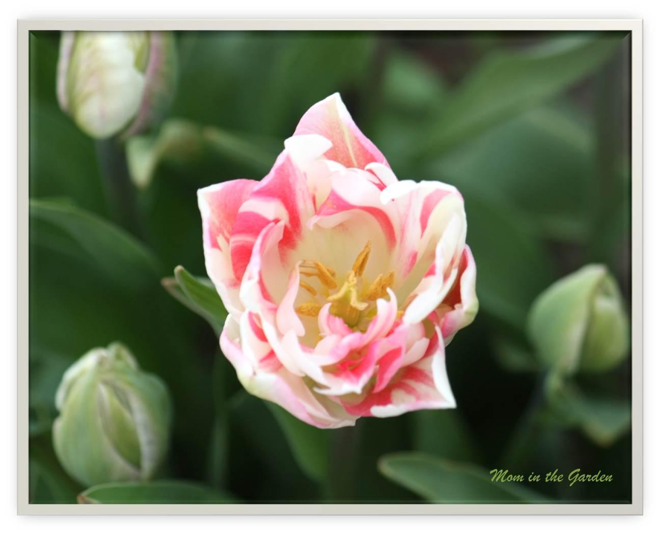 mystery tulip