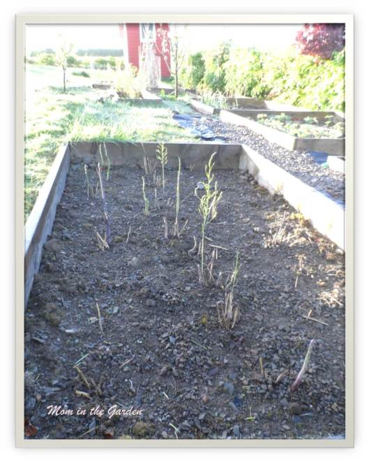 Full asparagus bed May 5th