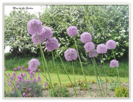 Allium from my garden