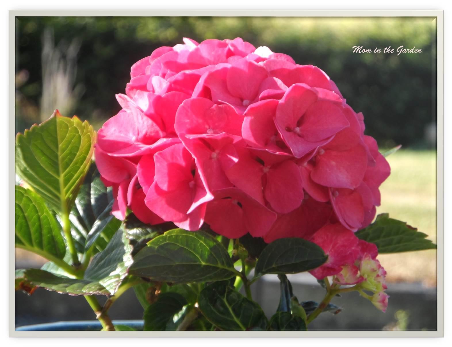 My pink hydrangea