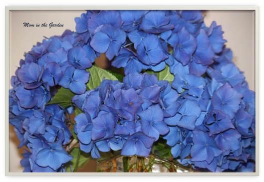Susan's blue hydrangea