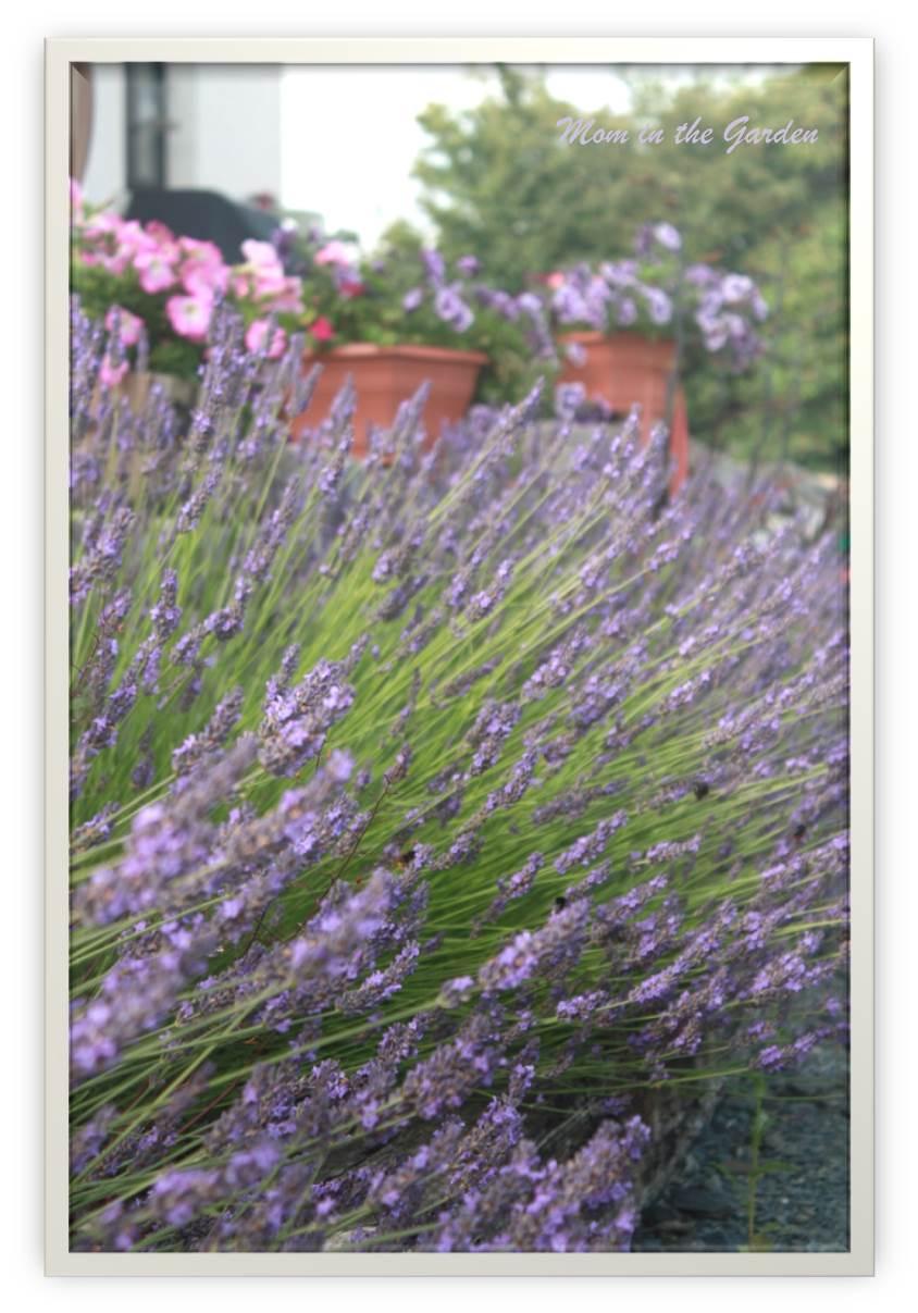 My lavender