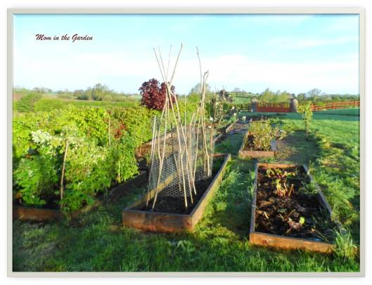 View of fruit garden standing at raspberry bed