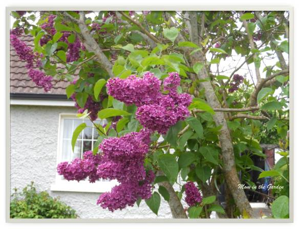 Lilacs along the road in Dromconrath