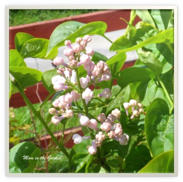 Syringa v. Beauty of Moscow