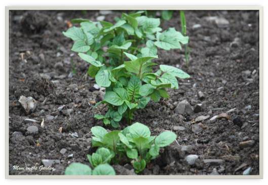 Potato plants in May