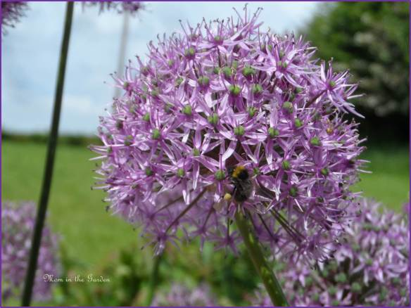 Allium up-close