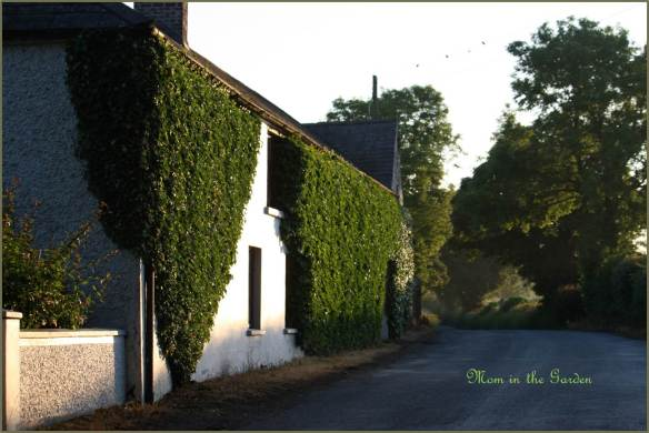 House with ivy at sunrise