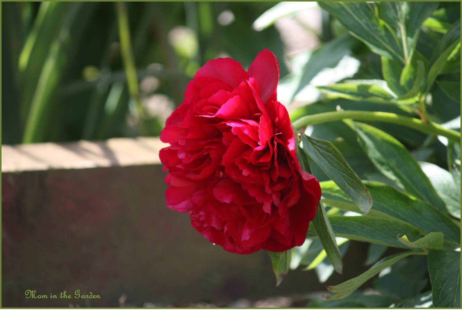 Peony in the garden at the front gate