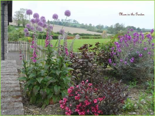 Allium 'purple sensation', foxglove, erysimum bowles,  Weigela florida 'Alexandra', Hydrangea Selma