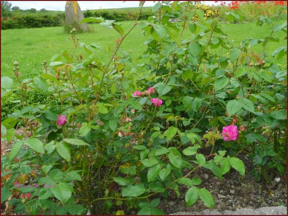 Rosa Jacques Cartier (1868) on June 14th (after two milk & water treatments)