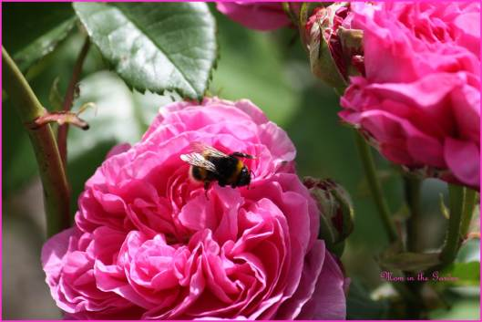 Rosa Jacques Cartier (1868) and bee