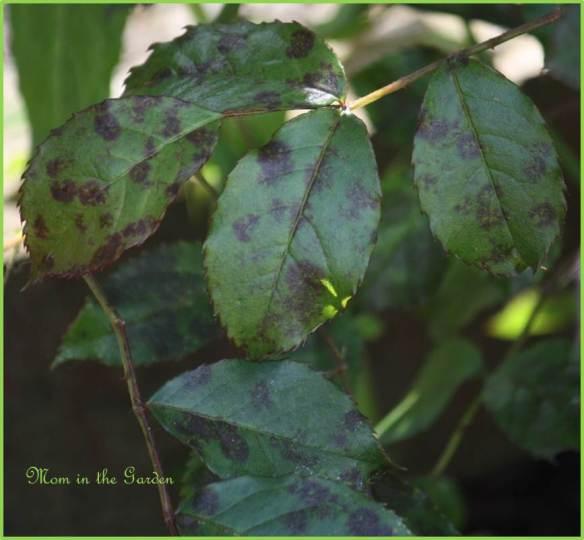 Blackspot damaged leaves
