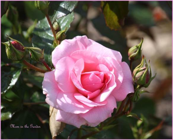 Climbing rose in June