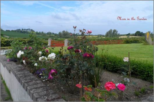 A view of the rose garden