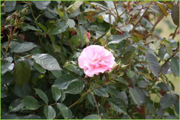 One of my climbing roses still looking good.