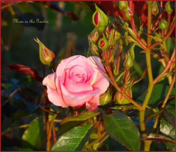 Climbing rose in June (evening sunlight)