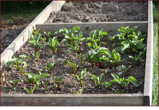 Our bed of Robuschka Organic beetroot