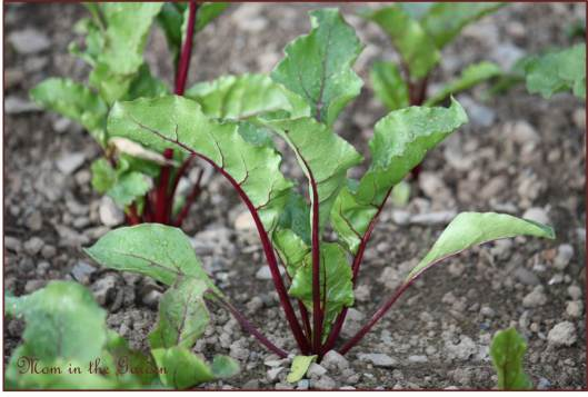 Organic Robuschka Beetroot