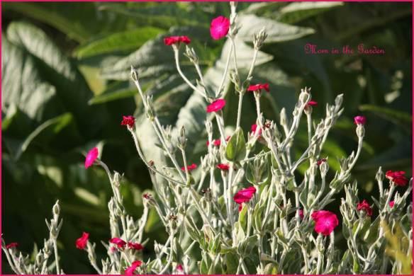 Dusty Miller Lychnis Coronaria