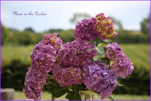 Keeping the purple color scheme from the beets... Purple hydrangea :-)