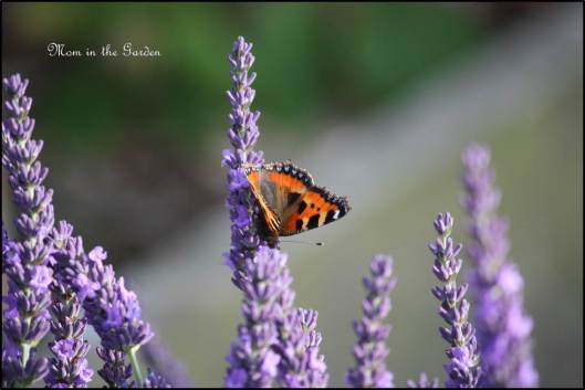 Nature also enjoy the lavender