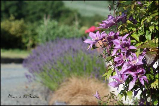 Clematis Bagatelle 'Dorothy Walton' and lavender