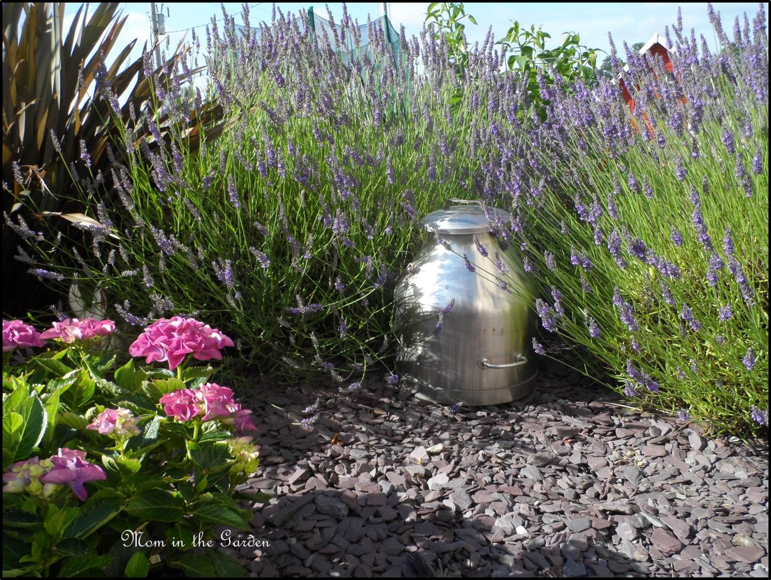 Lavender garden with an old milk container squished in