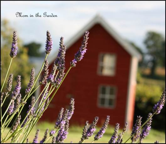 Lavender and play house