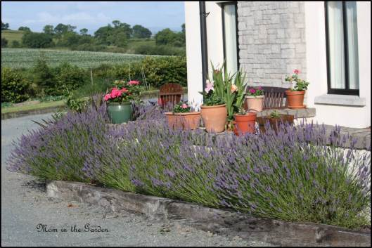 One view of the lavender garden