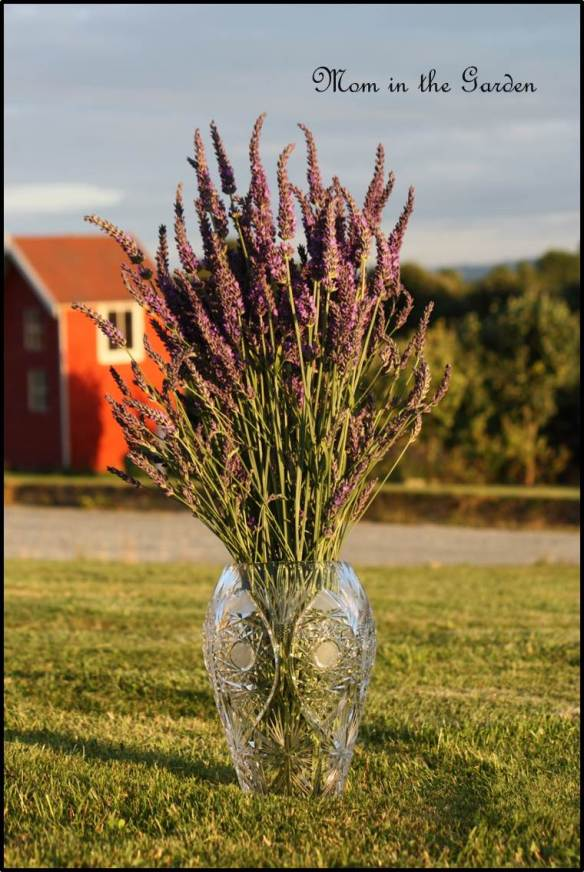 Lavender in evening sunlight